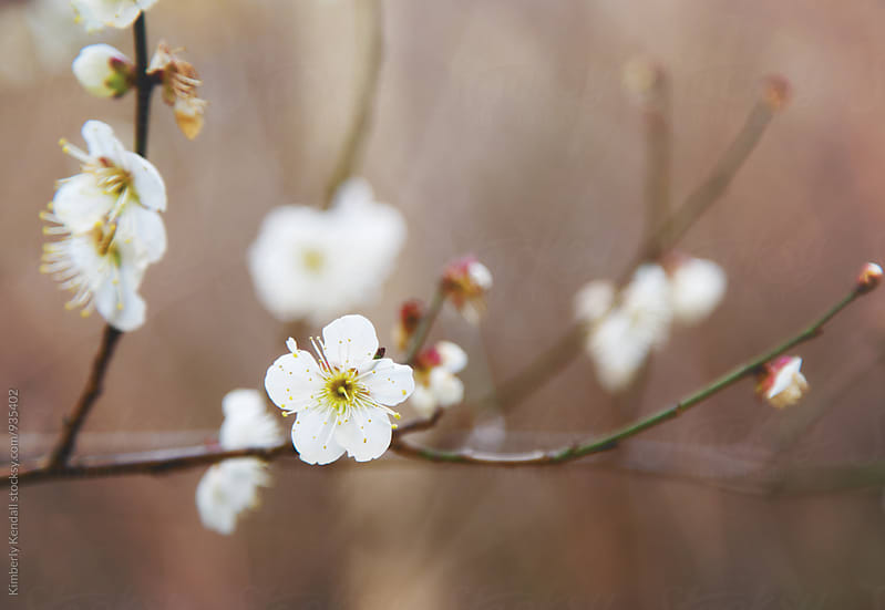 Early plum blossoms in Spring by Kimberly Kendall for Stocksy United