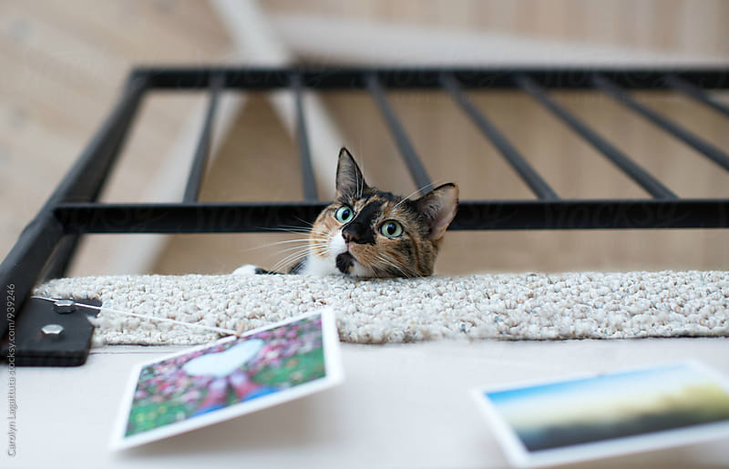 Calico cat looking down from a balcony by Carolyn Lagattuta for Stocksy United