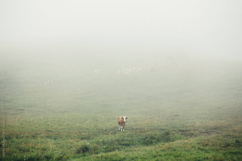 Cows on the foggy mountain by Marko Milovanović for Stocksy United