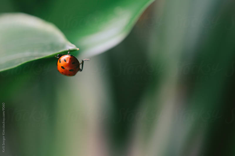 A ladybug on her way out of the scene by kelli kim for Stocksy United