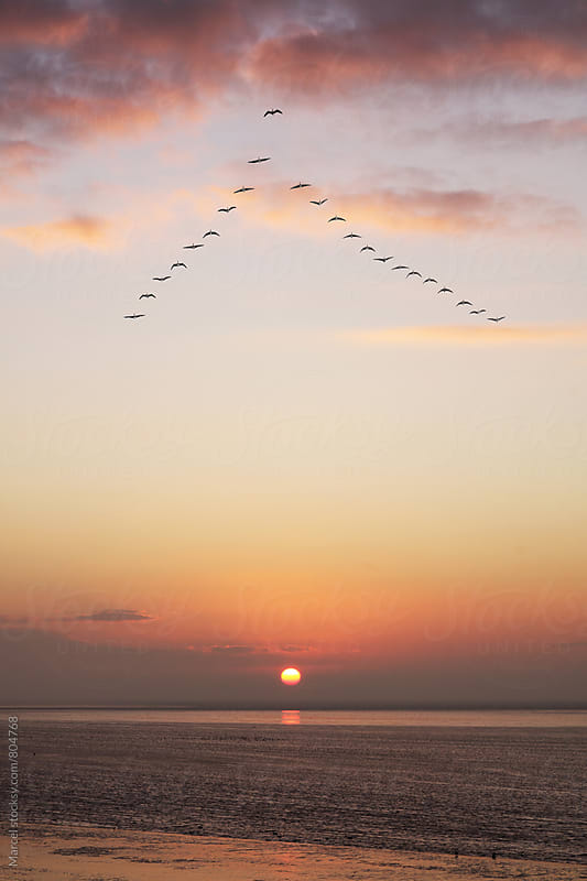 Geese flying over sea at sunset by Marcel for Stocksy United