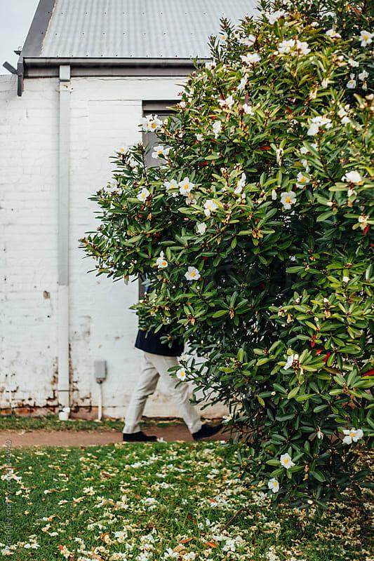 Man walking behind Large Camellia Tree by Kara Riley for Stocksy United