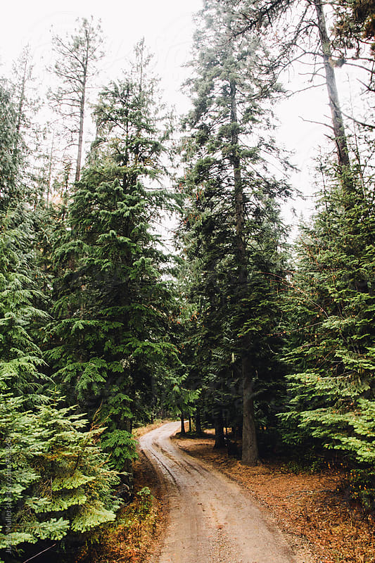 Narrow dirt road winding through tall pine trees by Justin Mullet for Stocksy United