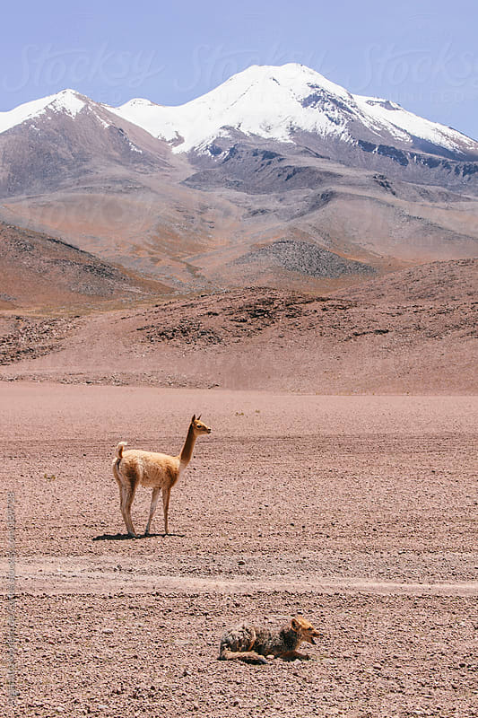 Vicugna - lama and fox on desert landscape with mountain with snow. Andes, South America by Alejandro Moreno de Carlos for Stocksy United