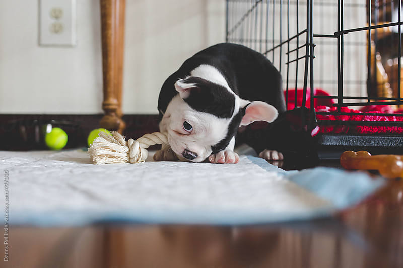 Puppy chewing on his toy by Danny Pellissier for Stocksy United