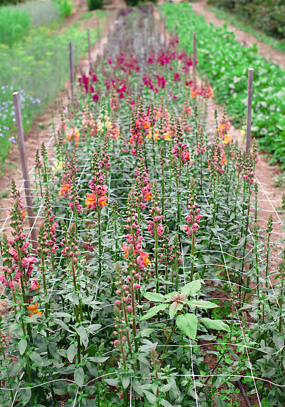 Rows of snapdragons growing tall on a farm by Carolyn Lagattuta for Stocksy United