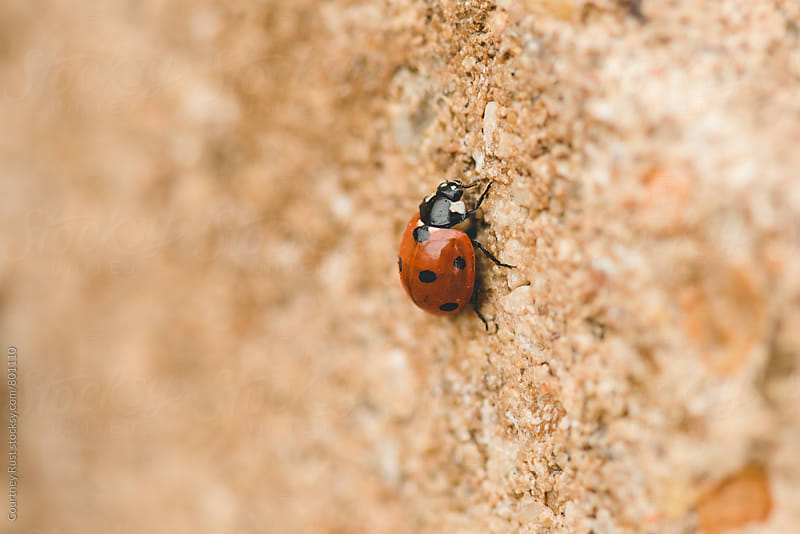 ladybug crawling on a stone by Courtney Rust for Stocksy United