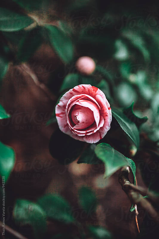 stained camellia flower by Thais Ramos Varela for Stocksy United