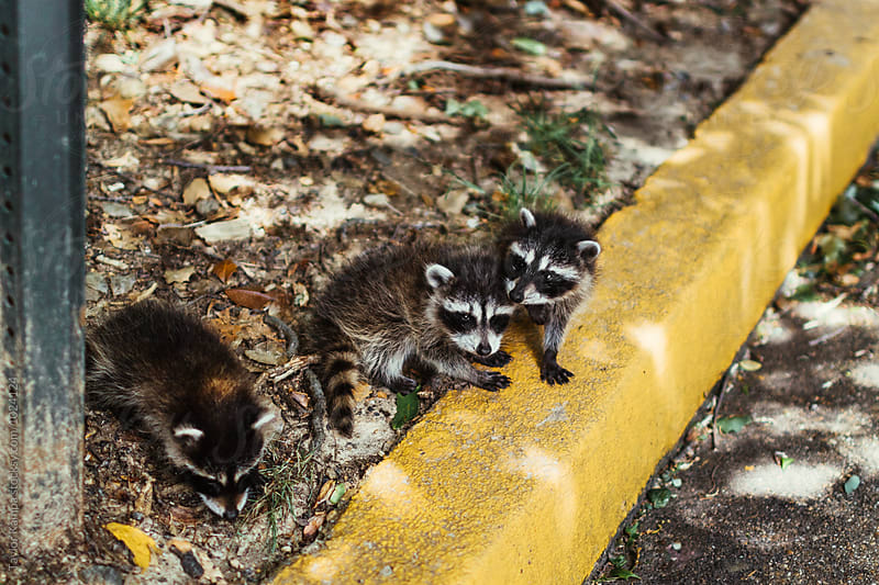 Three Baby Raccoons by Taylor Kampa for Stocksy United