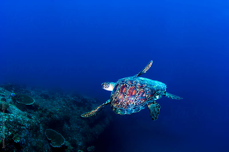Hawksbill Sea turtle swimming in the blue ocean underwater in Malaysia by Søren Egeberg Photography for Stocksy United