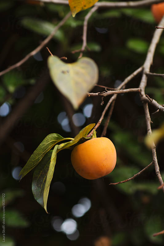 Persimmon on the plant in autumnal sun in garden by Laura Stolfi for Stocksy United