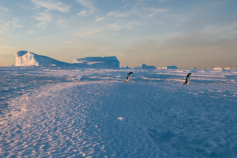 Adelie penguins on sea ice, Antarctica. by Thomas Pickard for Stocksy United