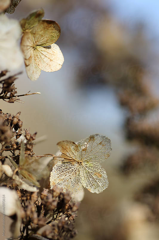 Dried hortensia flower after winter by Marcel for Stocksy United