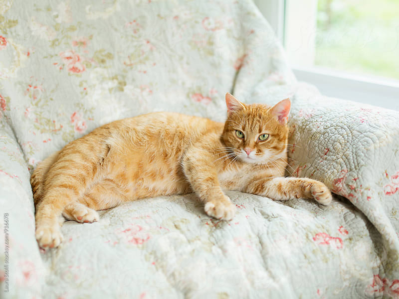 Happy cat laying on armchair close to window in living room by Laura Stolfi for Stocksy United