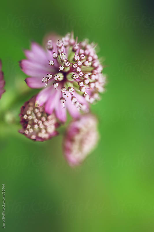 Extreme close-up of pink masterwort (Astrantia major Primadonna) flowers in bloom on blurred background by Laura Stolfi for Stocksy United