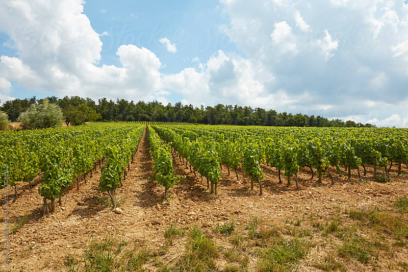 Vineyard in France by Bratislav Nadezdic for Stocksy United