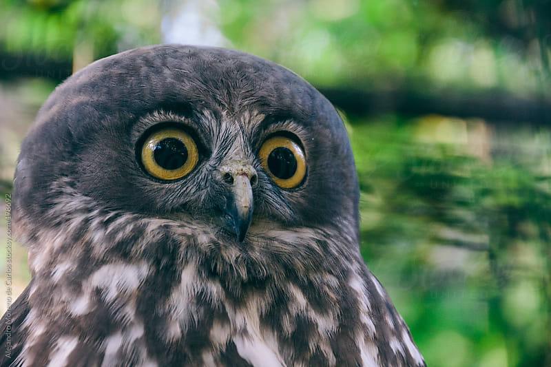 Funny owl with big eyes by Alejandro Moreno de Carlos for Stocksy United