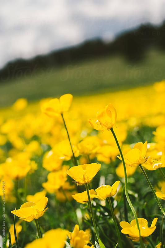 Field of yellow flowers by Aleksandra Jankovic for Stocksy United