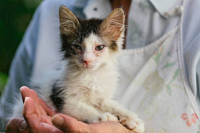 Rescued stray cat looks at the camera while laying in woman's hands by Laura Stolfi for Stocksy United