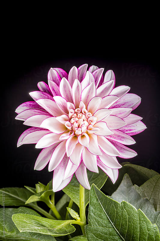 Beautiful white and purple Dahlia flowers on black background by Lawren Lu for Stocksy United