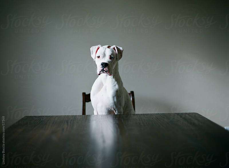 boxer poses at table  by Lindsey Boccia for Stocksy United