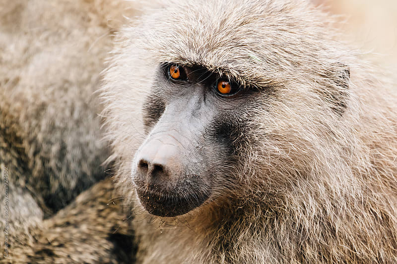 close up of baboon in Tanzania by Cameron Zegers for Stocksy United
