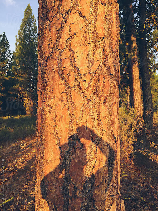 Photographer's shadow on Ponderosa pine tree at dusk by Paul Edmondson for Stocksy United