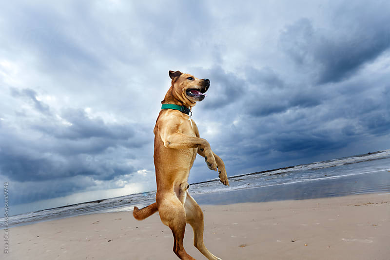 Jumping Mid-Air Winter Beach Dog by Eldad Carin for Stocksy United