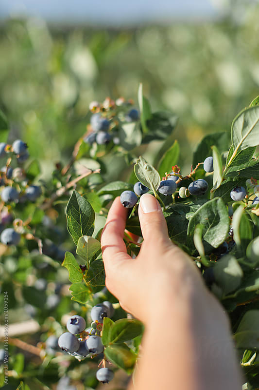 A woman's hand reaching out to pick a ripe blueberry by Amanda Worrall for Stocksy United