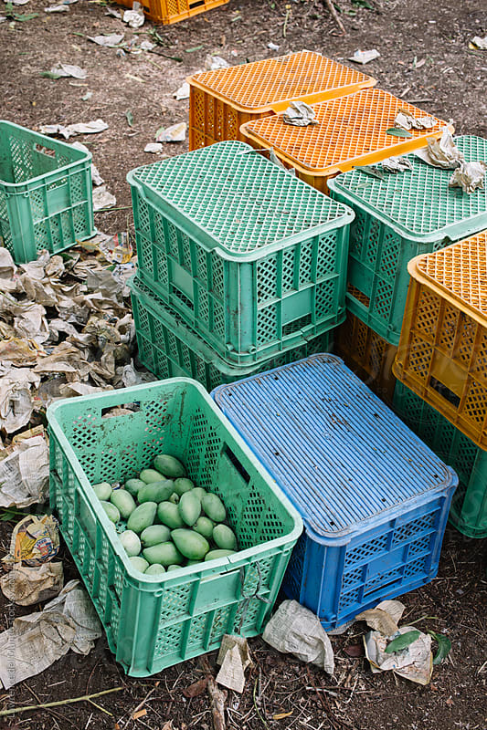 Newly harvested green mangoes in plastic crates by Lawrence del Mundo for Stocksy United