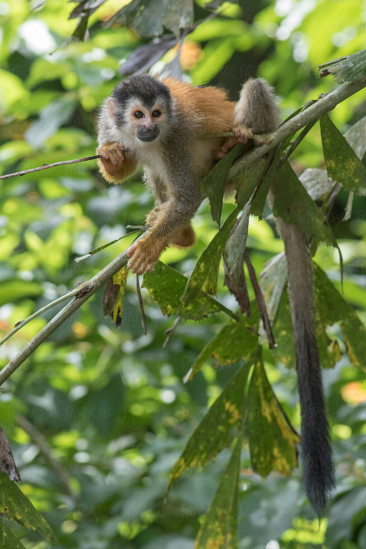 A squirrel monkey hanging on a branch by Song Heming
