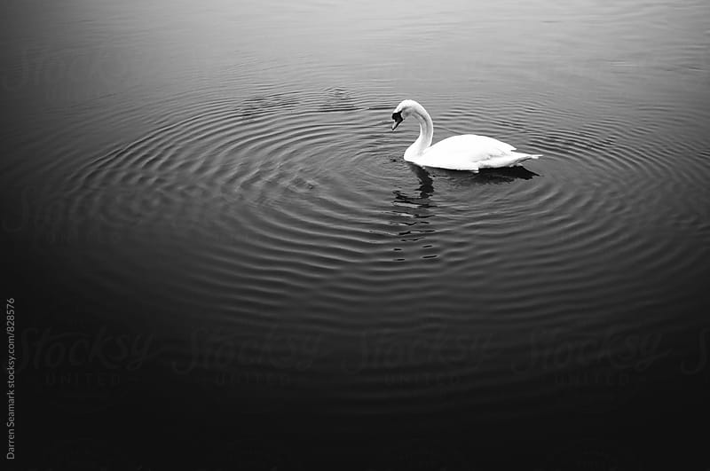Swan on rippled water by Darren Seamark for Stocksy United