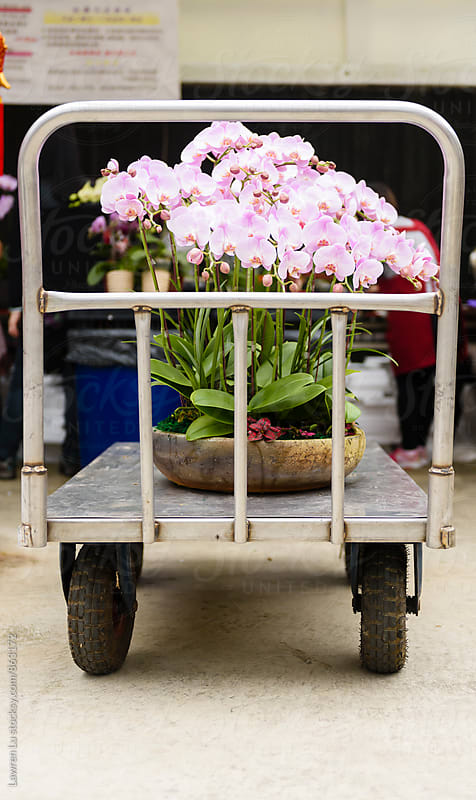 Moth orchid in bulk on cart for sale by Lawren Lu for Stocksy United