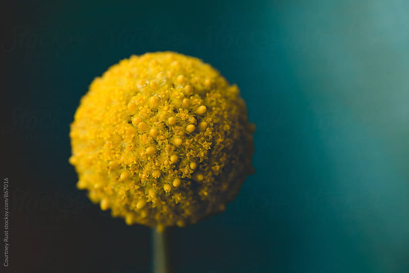 Pom pom flower by Courtney Rust for Stocksy United