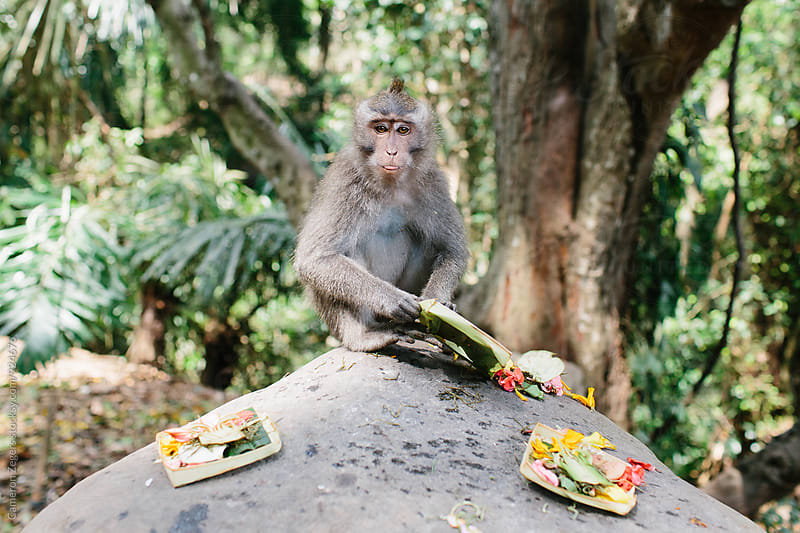 monkey sticking out tongue holding offerings by Cameron Zegers for Stocksy United