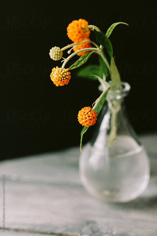 Buddleja Globosa by Helen Rushbrook for Stocksy United