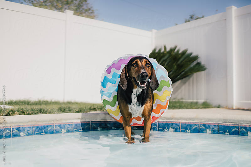 Summer Dog Relaxing in Pool by Isaiah & Taylor Photography for Stocksy United