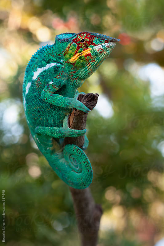 Portrait of a colorful chameleon from Madagascar by Beatrix Boros for Stocksy United