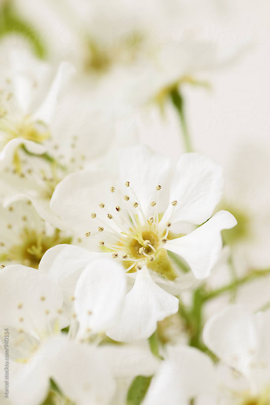 Pear tree blossom in spring by Marcel for Stocksy United