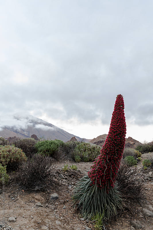 Specimen of Endemic Red Tenerife Bugloss. In the background, Teide peak covered by clouds by Marilar Irastorza for Stocksy United