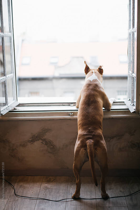 lonely dog looking out of the room window,friend,past,future by Igor Madjinca for Stocksy United