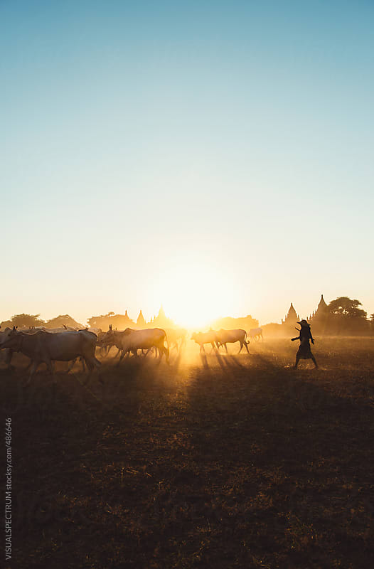 Burmese Farmer Driving Cattle Herd in Front of Bagan Pagodas by VISUALSPECTRUM for Stocksy United