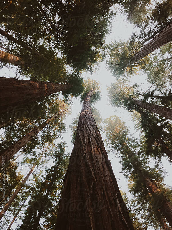 Stock photo of Redwood Trees by Dylan M Howell Photography for Stocksy United