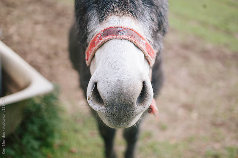The nose of a donkey  by Koen Meershoek for Stocksy United
