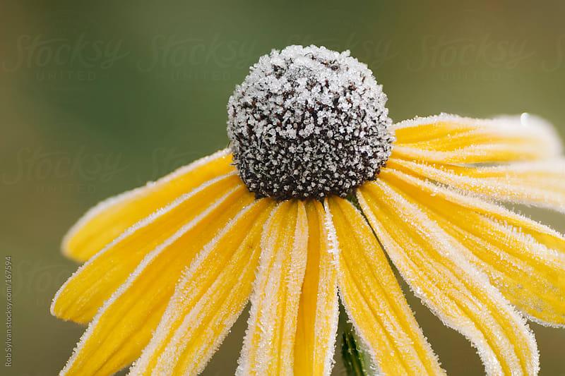 Frosty Flower by Rob Sylvan for Stocksy United