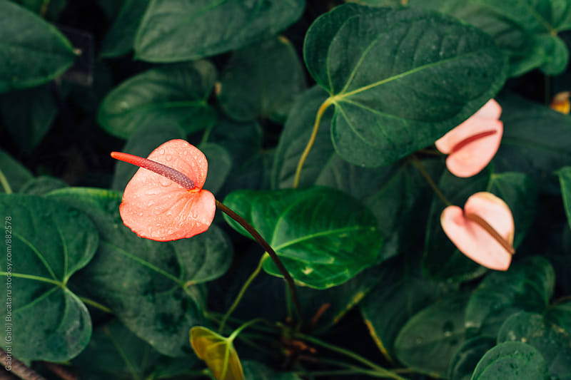 Pink Anthurium by Gabriel (Gabi) Bucataru for Stocksy United