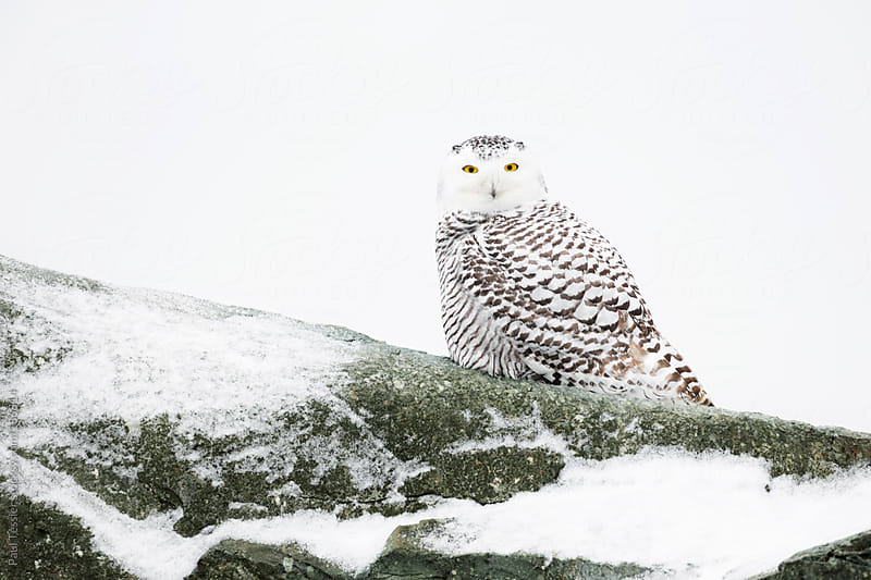 Snowy Owl by Paul Tessier for Stocksy United