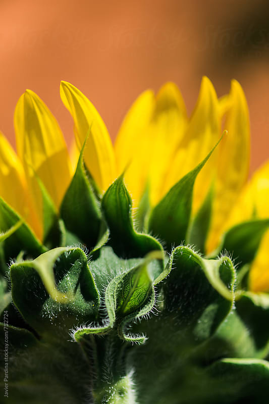 close detail of sunflowers by Javier Pardina for Stocksy United
