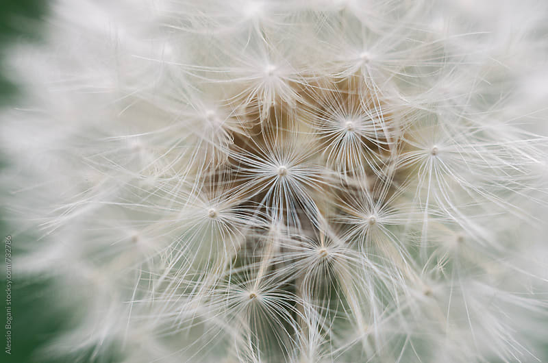 Dandelion close up by Alessio Bogani for Stocksy United
