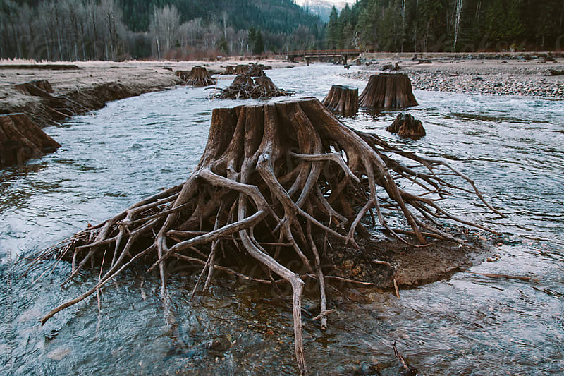 Tangled roots of an old stump.  by Justin Mullet for Stocksy United